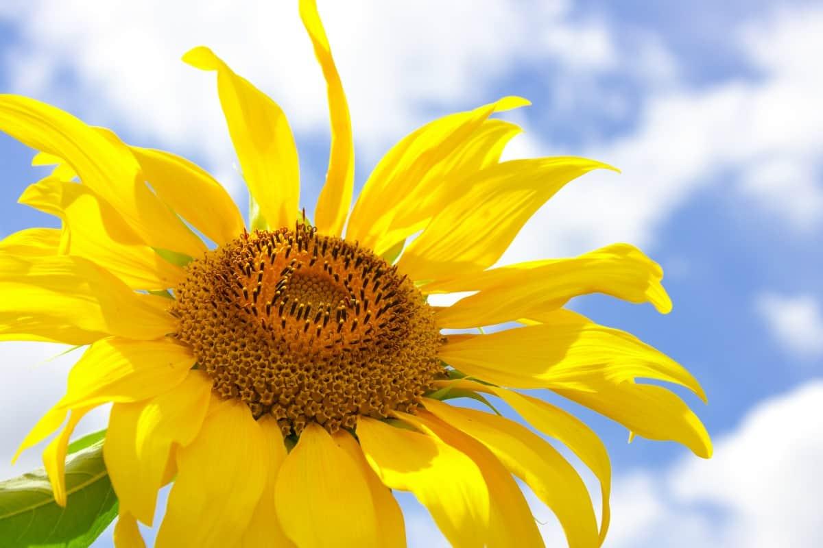 amazing large sunflower and blue summer sky background